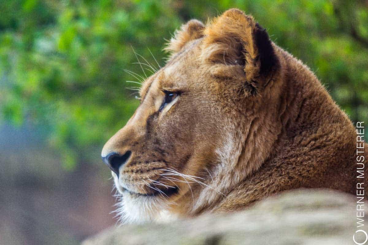 Ein Löwenweibchen im Zoo Hannover