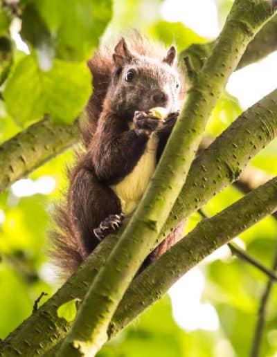Das Eichhörnchen …