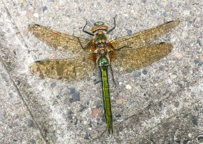Glaenzende Smaragdlibelle (Somatochlora metallica)